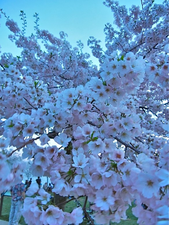 Branches dropping form the masses of blooms