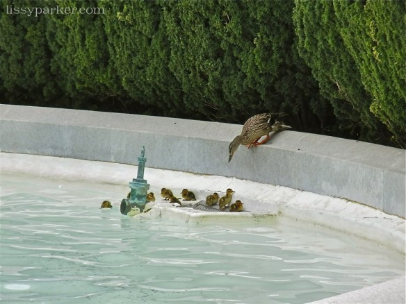Spring brings baby ducks to enjoy the water in the fountain