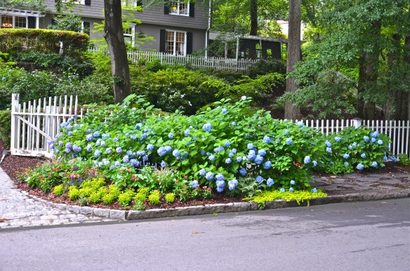 This hydrangea loves this spot—I just had to cut a few