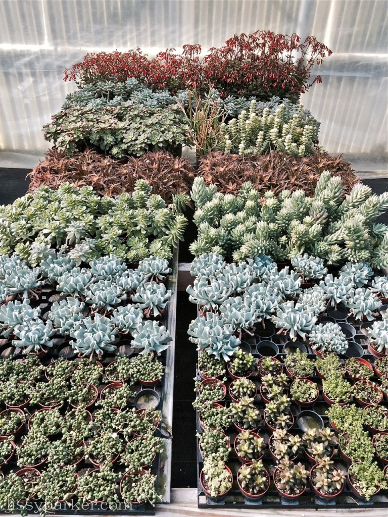 Succulents in every shape and color