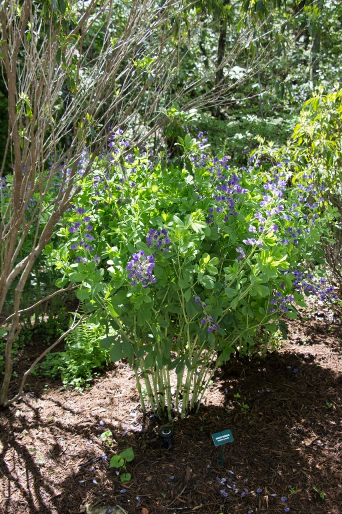 Baptisia is a favorite of mine—love the blue flowers and gray green foilage
