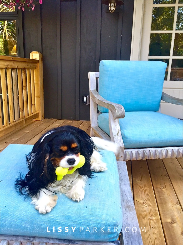 King Charles Spaniel on a chair
