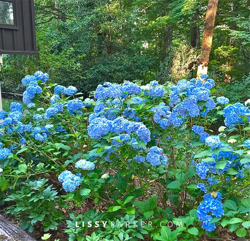 massive blue hydrangeas