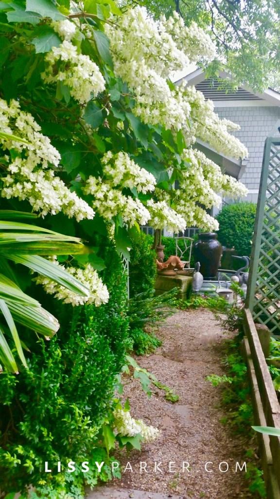 hydrangea lining a path