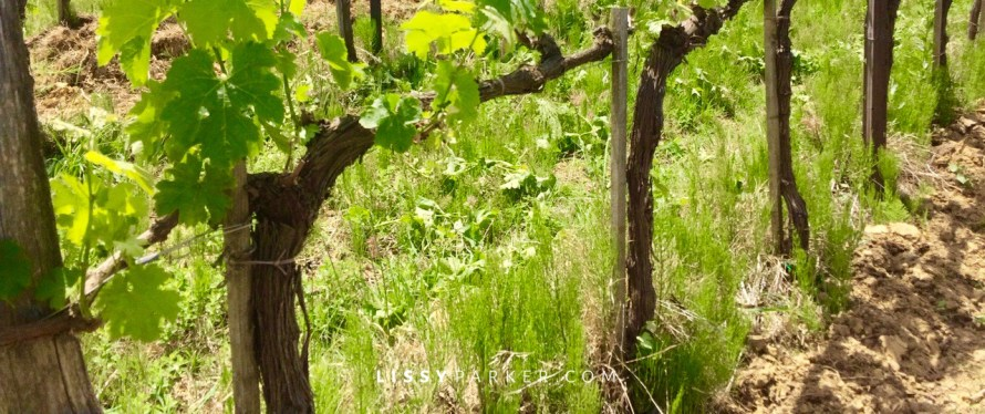 Tuscan grape vines