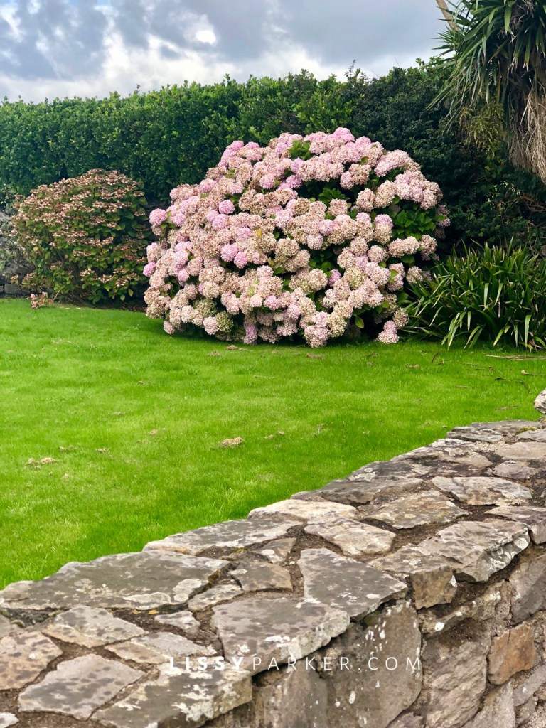 pink hydrangea din Irelan