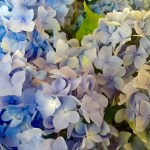 Friday Flowers—Hydrangeas!