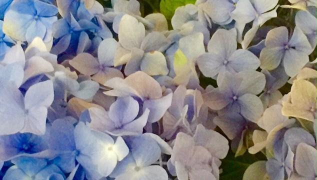 Friday Flowers—Hydrangeas!