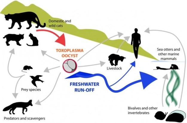 Infographic showing transmission pathways of Toxoplasma gondii parasite