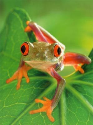 Af581~Frog-Posters