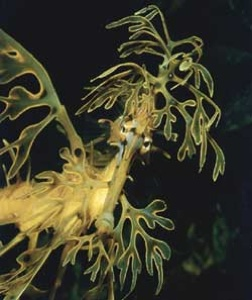 Leafyseadragon