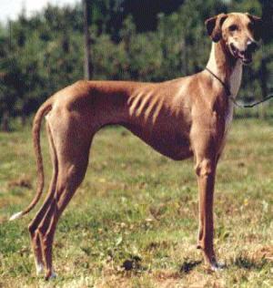 Top 10 Rare Dog Breeds - Listverse