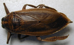 Hemiptera Belostomatidae3