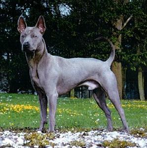 Top 10 Rare Dog Breeds
