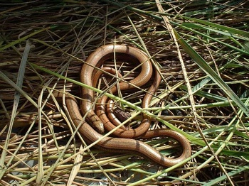 Slowworms Rh