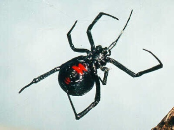 Blackwidowspider3