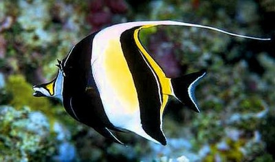 Moorish Idol Zanclus Cornutus