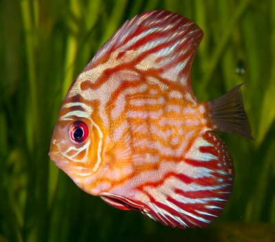 Pompadour Discus