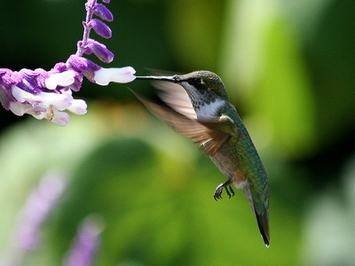 Hummingbird.Jpg