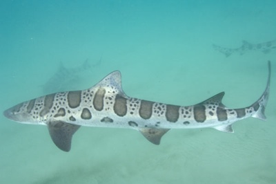 Leopard-Shark-008 3