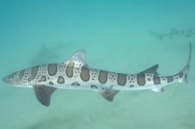 Leopard-Shark-008 3