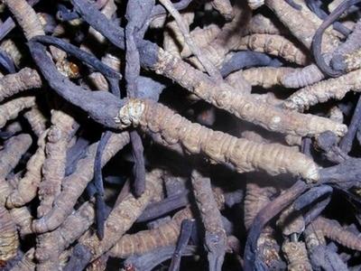Tibetan Chinese Caterpillar Fungus Cordyceps