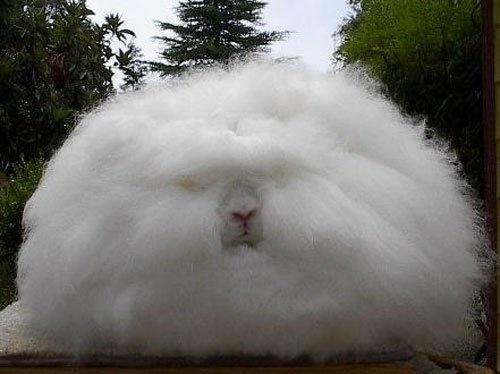 Angora Rabbit-00