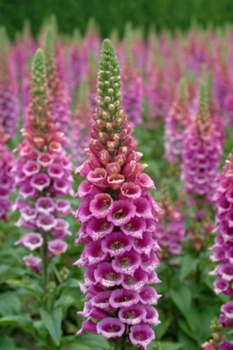 F Digitalis Candymountain