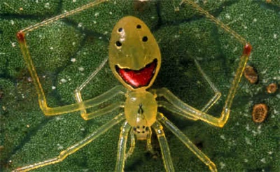 Happy-Face-Spider