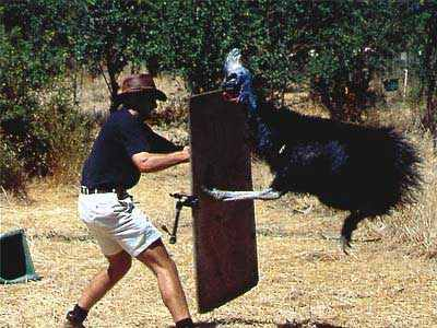 Cassowary-Attack-2-2