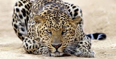 Leopard-Tiger-Attack-Cat