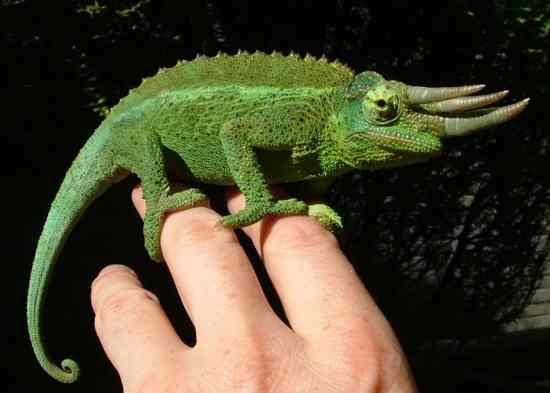 Chameleon011