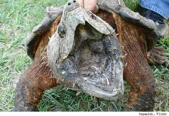Alligator-Snapping-Turtle-Hspauldi-Flickr-584