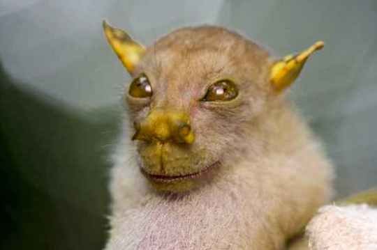 Tube-Nosed-Bat