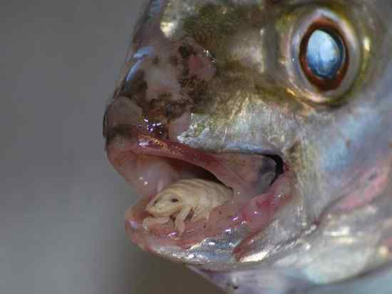 Cymothoa-Exigua-Insect-Parasite-Eats-Fish-Tongue