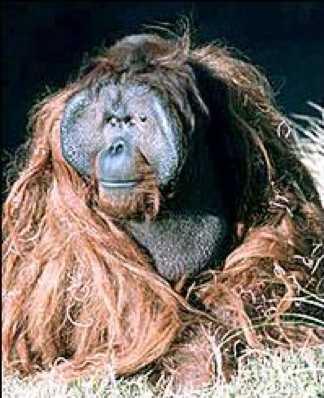 File:Ken Allen Orangutan