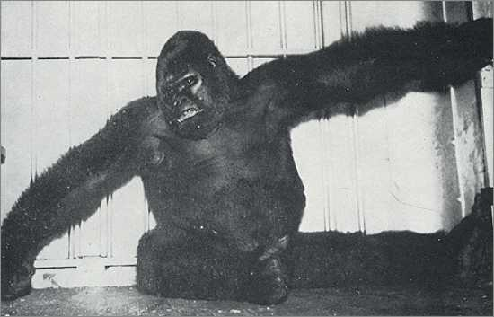 Biggest Gorilla Ever Recorded And fiercest gorilla ever