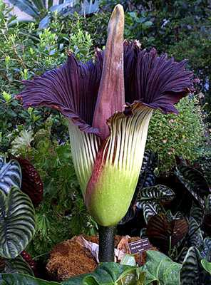 Worlds Largest Flower 6Sfw