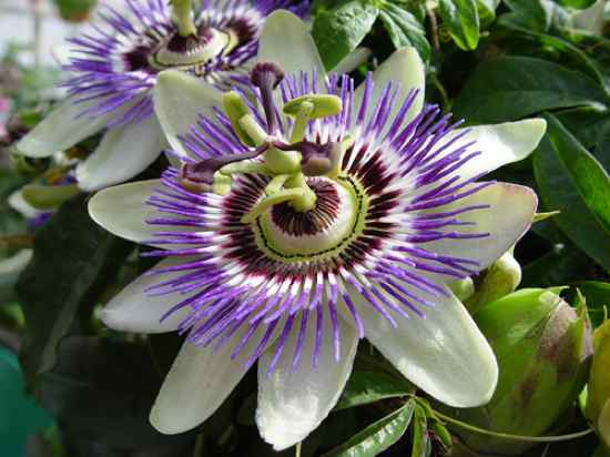 Passion-Flower-To-Kindle-Sleep