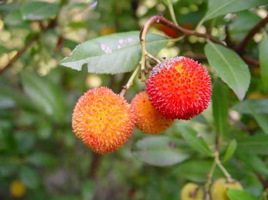 800Px-Arbutus Sp  Fruit