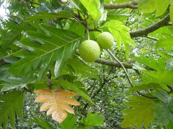 [Imagem: artocarpus_altilis.jpg?resize=550%2C412]