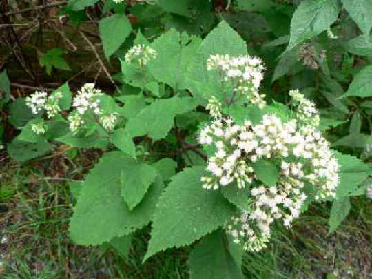 Snakeroot