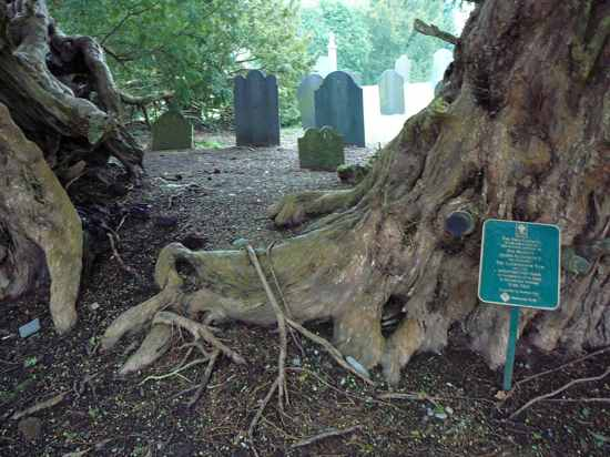 The Llangernyw Yew Split