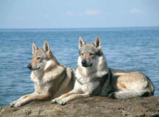 Czechoslovakian Wolfdog Pair