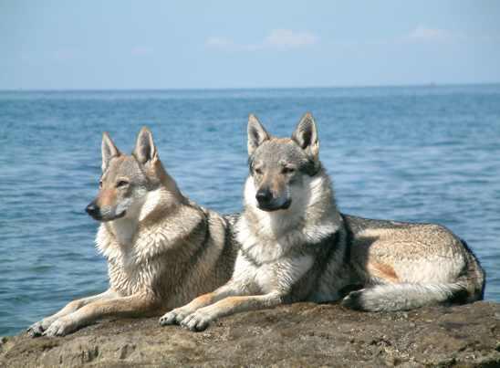 Czechoslovakian Wolfdog Pair