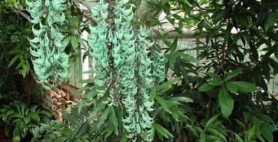 Jade-Vine-in-botanic-gardens
