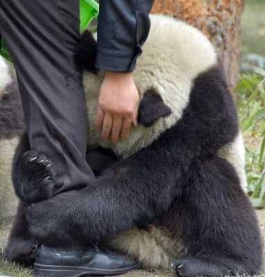 Cute-Panda-Hug-Earthquake