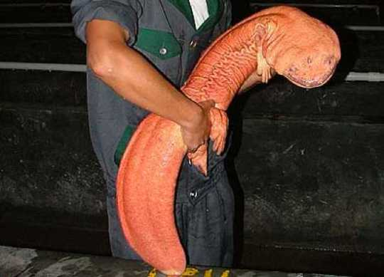 Chinese-Giant-Salamander