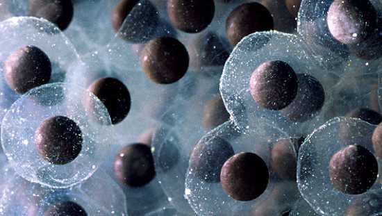 Frog Eggs