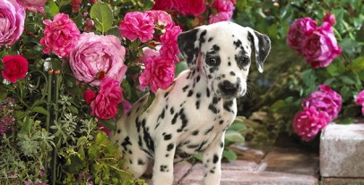 dalmatian-puppy-wallpapers_10817_1600x1200